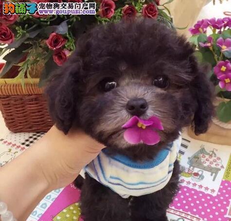 超小体茶杯玩具血系的呼和浩特泰迪犬 保纯保健康