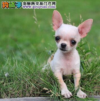 基地出售纯种吉娃娃幼犬包健康疫苗齐全欢迎上门挑选