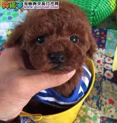 大型专业培育泰迪犬幼犬包健康期待您的咨询