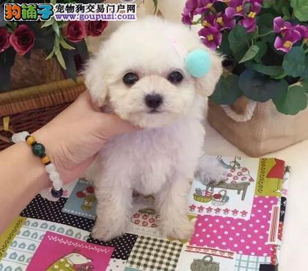 纯种双血统泰迪犬出售 可爱卷毛狗智商高 疫苗驱虫已做完