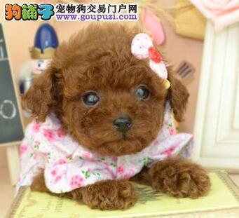 极品贵宾犬玩具迷你贵宾出售精品贵宾幼犬全国包邮