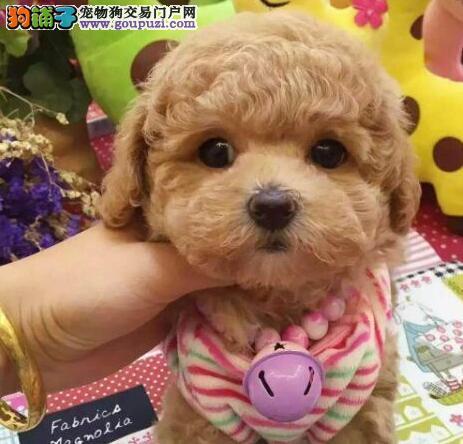 泰州高品质泰迪犬终身质保玩具犬质量三包签协议