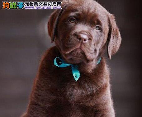 广州基地出售拉布拉多犬 保纯保健康 疫苗驱虫已做完