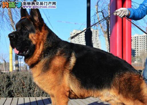 德国牧羊犬价格贵吗 北京出售纯种德国牧羊犬血统纯正