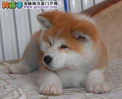 出售秋田犬公母都有品质一流签订三包合同1