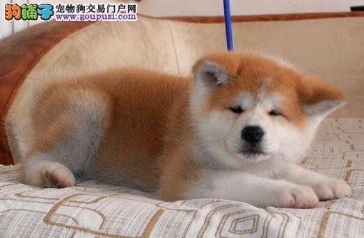自家繁殖赛级北京秋田犬出售证书齐全签合同