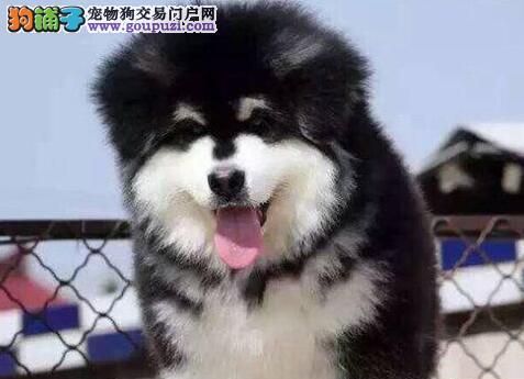 武汉家养繁殖纯种熊版阿拉斯加犬带健康证上门挑选
