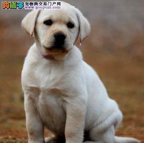 血统纯正的哈尔滨拉布拉多犬直销出售 欢迎上门挑选