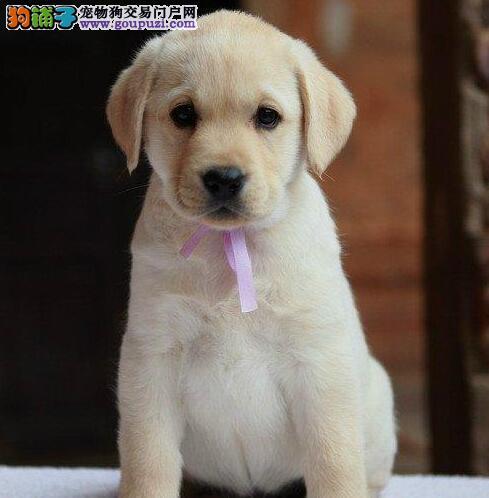 养殖基地出售健康聪明武汉拉布拉多犬 可提前接受预定