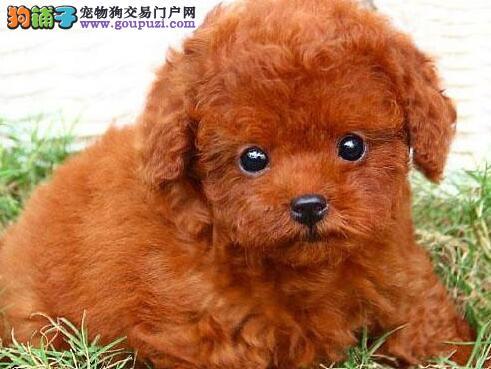 顶级优秀的纯种天津贵宾犬热销中终身完善售后服务