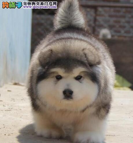十字脸品相超棒的阿拉斯加犬找新家 呼和浩特市内送货1