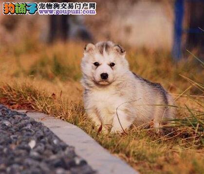 武汉犬舍出售纯种哈士奇好品相保纯保健康