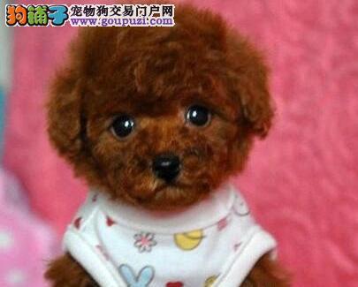 佛山犬舍出售极品茶杯体泰迪犬 随时可微信视频选购