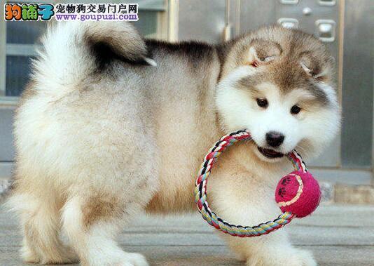 出售纯种阿拉斯加幼犬赛级血统品相一流质保三年