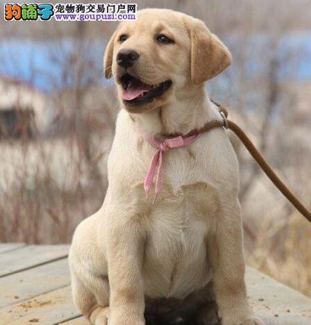 佛山自家繁殖的拉布拉多犬找新主人 售前售后服务好
