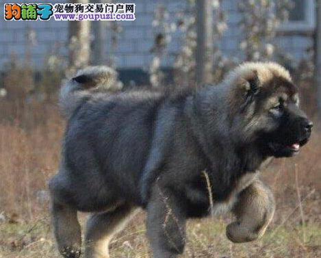 犬舍长期出售贵阳高加索犬 专业喂养精心繁殖品质好