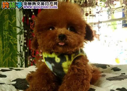 优质生活从一只贵宾犬开始广州白领必备爱宠