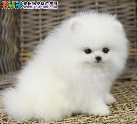 纯种广州博美幼犬低价出售 品相很好 颜色多可挑选