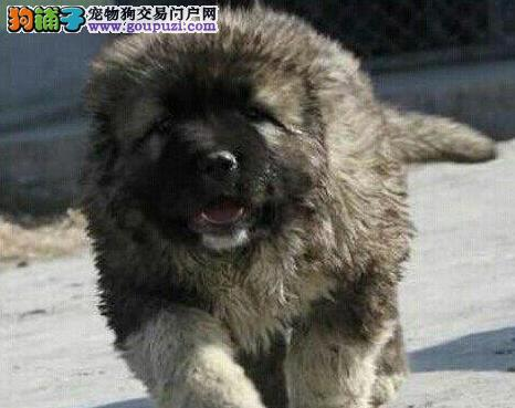 出售原生态血系熊版品相的高加索犬 青岛地区可送货