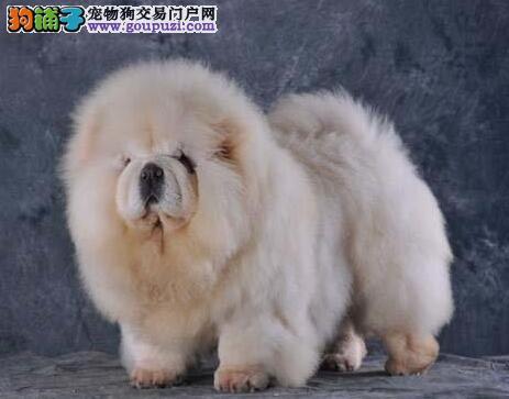 珠海知名犬舍出售肉嘴松狮犬 公母均有多只幼犬任选择
