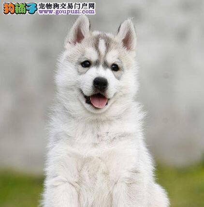 哈士奇幼犬出售 长相帅气 保纯保健康 周边可送货到家