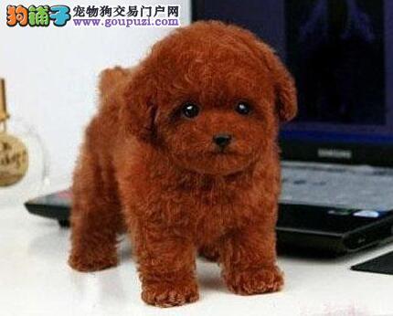 多种颜色的合肥泰迪犬找爸爸妈妈 请大家放心选购爱犬