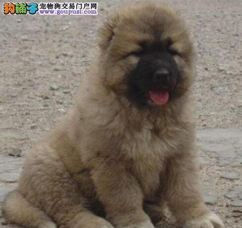 熊版巨型品相的合肥高加索犬热卖中 终身质保可签协议