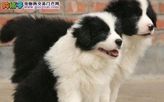 贵阳赛级边牧 边境牧羊犬 国外引进自家繁殖 萌宠狗狗