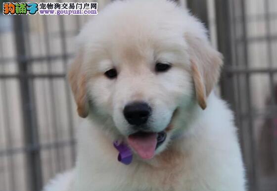 专业实体店转让精品金毛犬郑州市区购犬可优惠