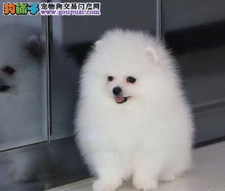 哈多利球形完美品相的合肥博美犬热卖中 保证品质售后