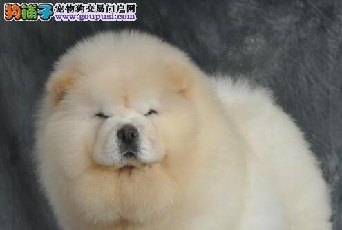 合肥正规犬舍出售肉嘴松狮犬 希望大家上门选购爱犬