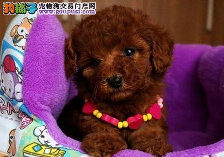 狗场直销出售徐州超小体泰迪犬 茶杯玩具血系多只供选4