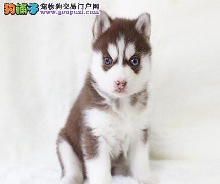 进口西伯利亚狼蓝眼哈士奇犬出售三款颜色幼崽可选购