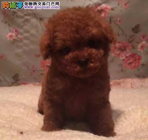 起出售墨西哥小体吉娃娃幼犬 签合同 三年包退换
