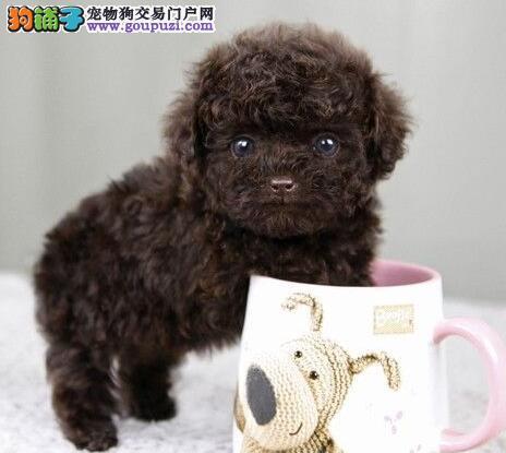 特价促销精品贵宾犬广州市区内上门购买有礼品