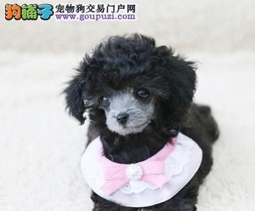 十堰热卖贵宾犬多只挑选视频看狗冠军级血统品质保障