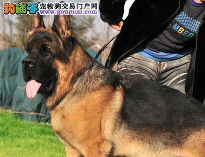 青岛专业养殖基地促销价格转让纯种德国牧羊犬
