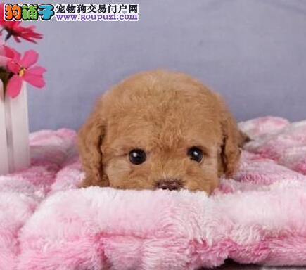 出售纯种健康的南宁泰迪犬 签订三年质保购犬合同