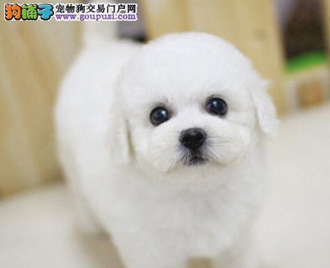 南宁实体狗场出售比熊犬 完美售后让您爱狗无忧