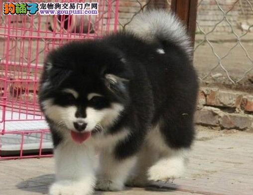 南宁自家狗场繁殖出售阿拉斯加犬 骨量上乘品相极佳