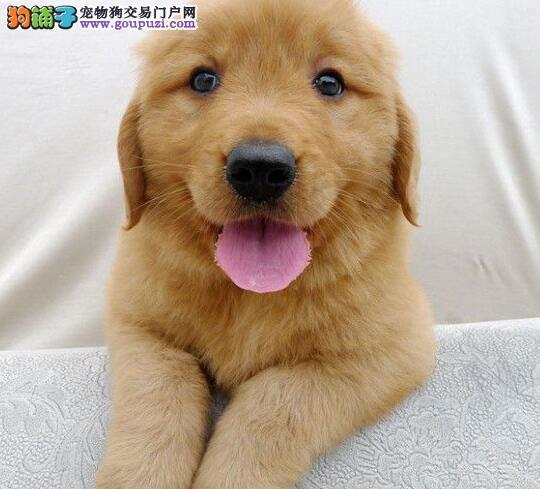 专业基地繁殖超可爱金毛幼犬出售!快来基地挑选