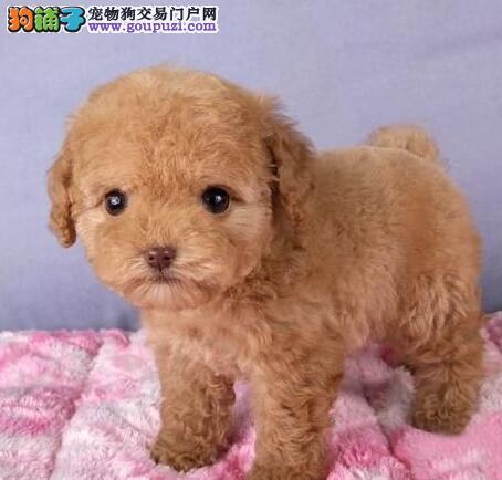 优质泰迪犬幼犬出售 颜色齐全多只可选 可见狗父母2