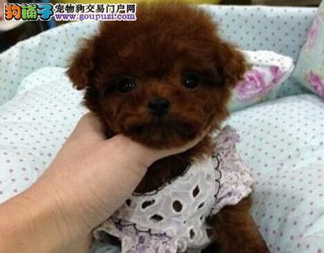 云浮体型毛质好,可爱的巨贵幼犬有售,血统纯保健