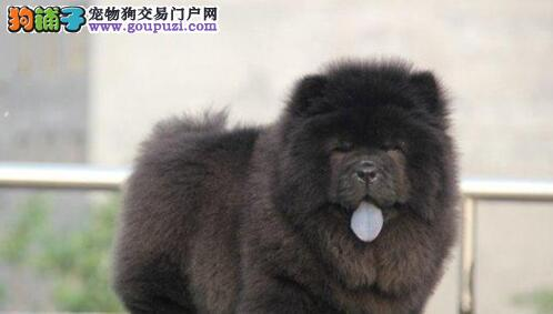 CKU认证犬舍直销/松狮幼犬/纯种健康签订协议