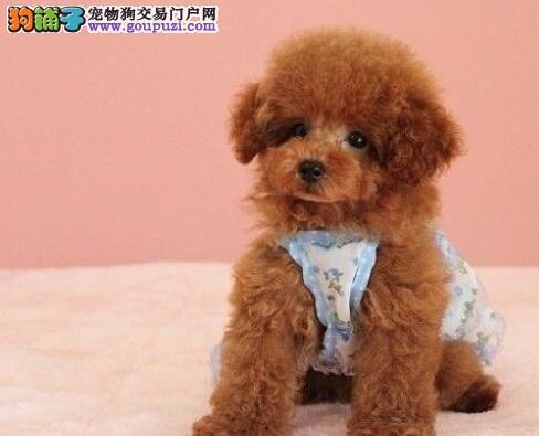 高资质犬舍繁育精品泰迪犬出售 欢迎来北京上门购买