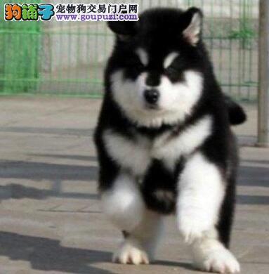 高品质巨型 红色 黑色阿拉斯加雪橇犬犬舍诚信出图片