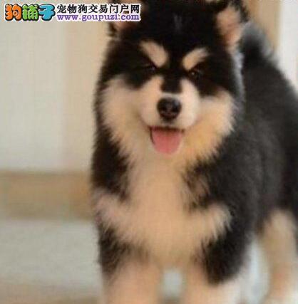 成都出售顶级阿拉斯加幼犬阿拉品相好 纯种健康有保障2