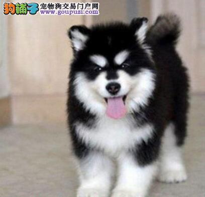 成都出售顶级阿拉斯加幼犬阿拉品相好 纯种健康有保障1
