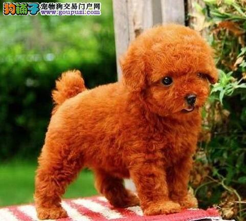 低价转让韩系血统贵宾犬 北京同城可免费送到家有赠品1