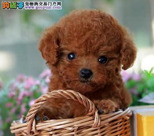 低价转让韩系血统贵宾犬 北京同城可免费送到家有赠品2